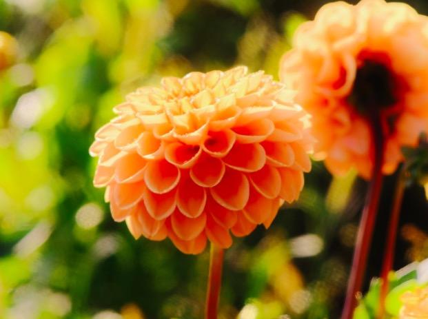 Photo de la fleur Dahlia à Singapour